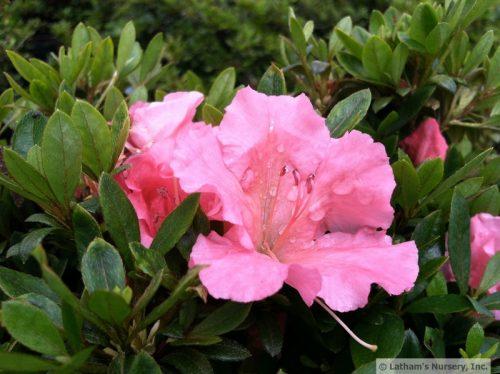 Azalea Pink Gumpo bloom