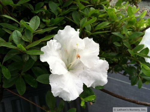 Azalea White Gumpo bloom