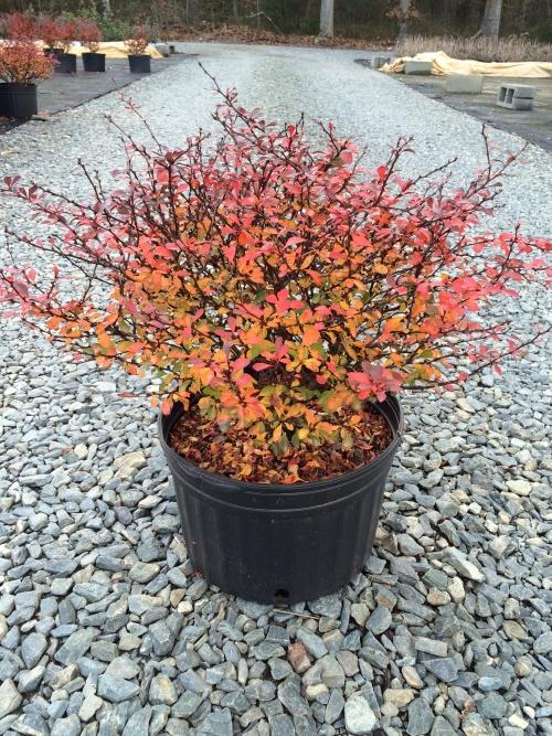 Berberis Crimson Pygmy 3g Fall Color