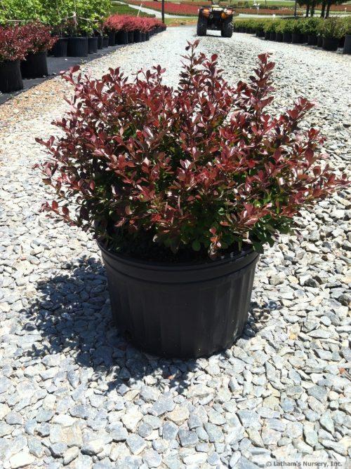 Berberis Crimson Pygmy 3g