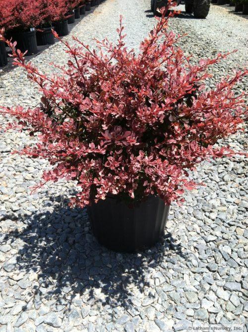 Berberis Rose Glow 3g 5-17