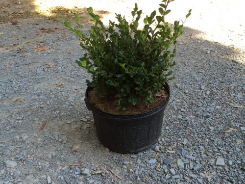 Buxus Wintergreen 3g