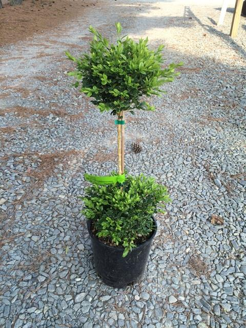 Buxus sempervirens 2 ball