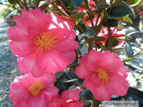 Camellia sasanqua Kanjiro bloom