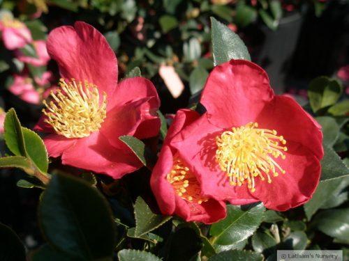 Camellia sasanqua Yuletide bloom