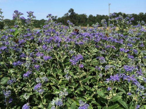 Caryopteris Petite Blue bloom