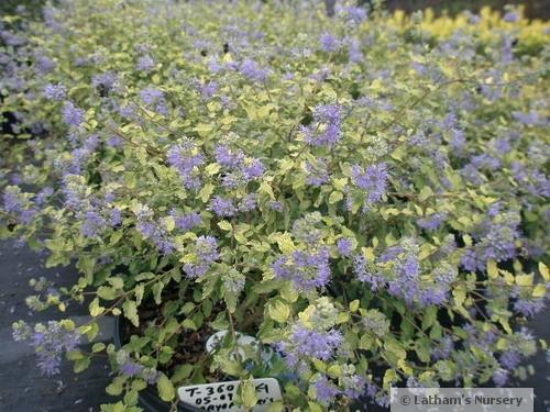 Caryopteris Sunshine Blue® bloom