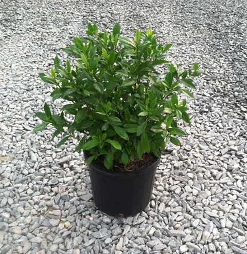Gardenia August Beauty 3g