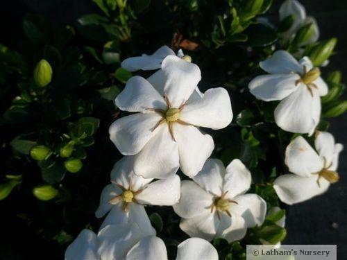 Gardenia Kleims Hardy blooms