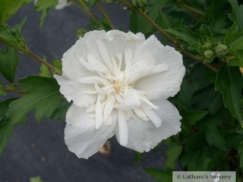 White Chiffon bloom
