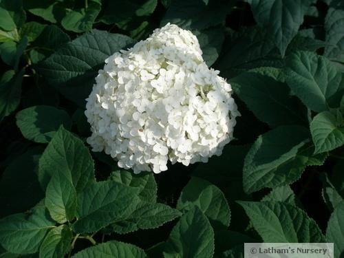 Hydrangea Annabelle bloom
