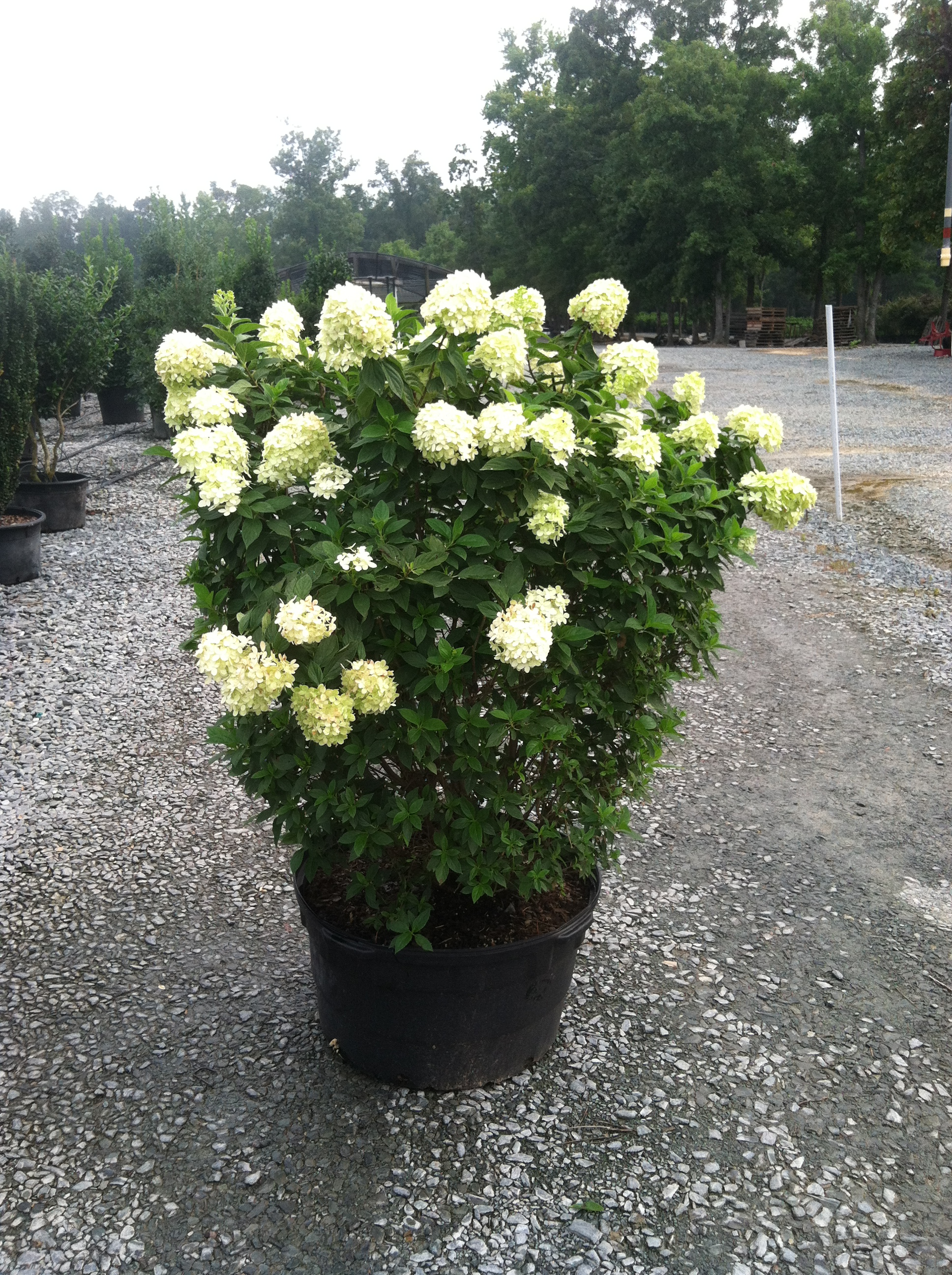 hydrangea limelight 3g hydrangea paniculata limelight pp12874 latham 39 s nursery. Black Bedroom Furniture Sets. Home Design Ideas