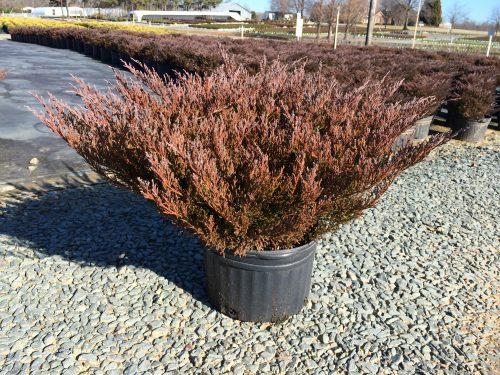 Juniperus Andorra 3g winter color