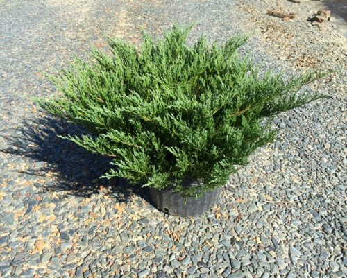 Juniperus Andorra 3g