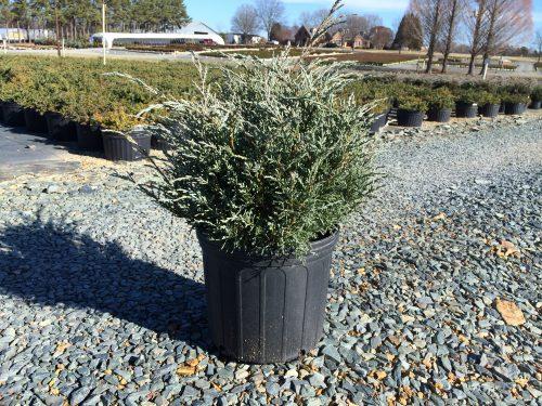 Juniperus Angelica Blue 3g winter color