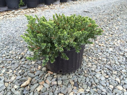 Juniperus Blue Pacific 3g