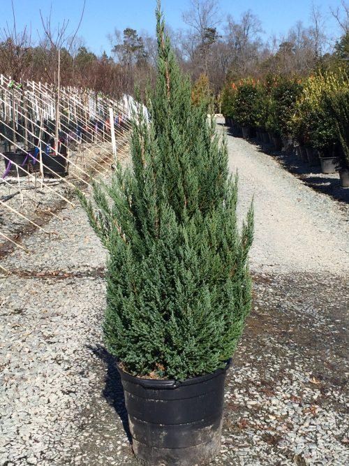 Juniperus Blue Point 15g Jan. 2015
