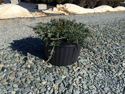 Juniperus hor. Blue Rug 3g Dec. 2014
