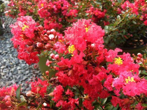 Lagerstroemia Cherry Dazzle bloom