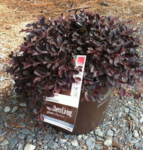 Loropetalum Purple Pixie