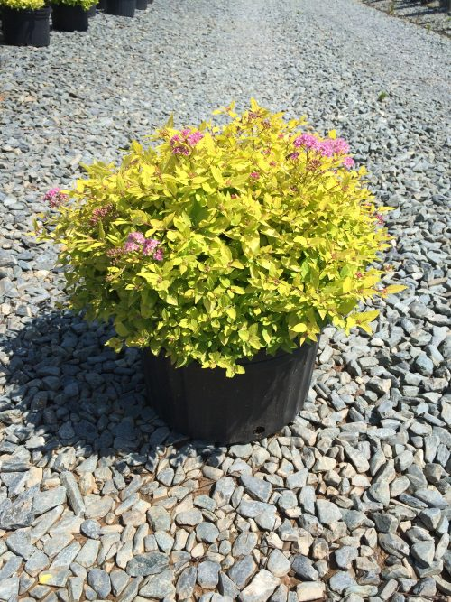 Spirea Gold Mound 3g May 2015