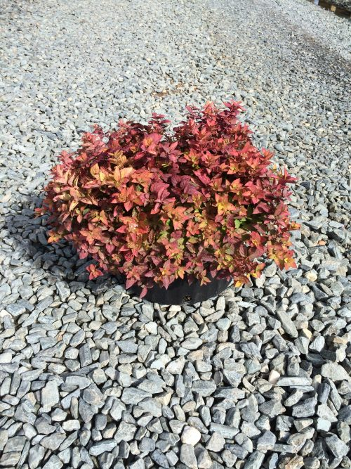 Spirea Goldmound Fall Color