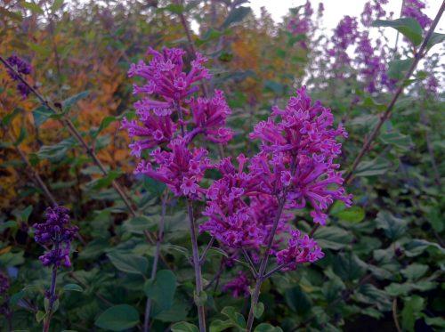 Syringa Bloomerang bloom