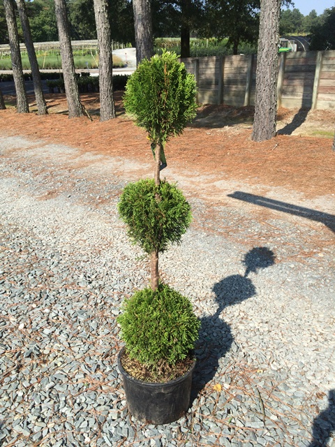 Thuja Emerald Green 3 ball topiary 6g