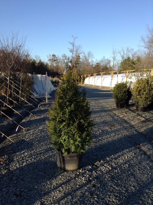 Thuja x Green Giant 15g