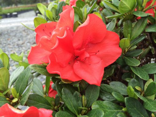 Azalea Amagasa bloom