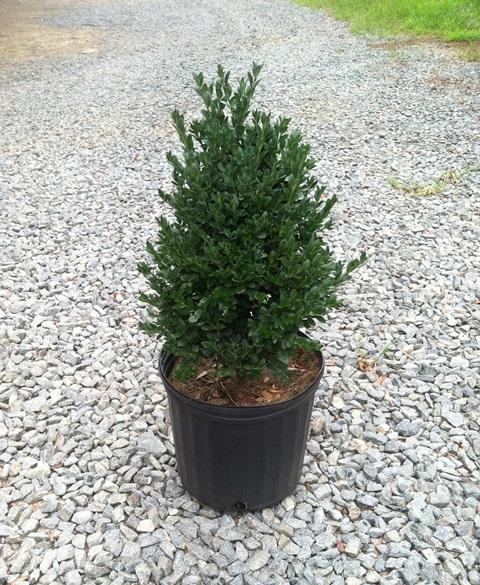 Buxus Green Mountain 3g