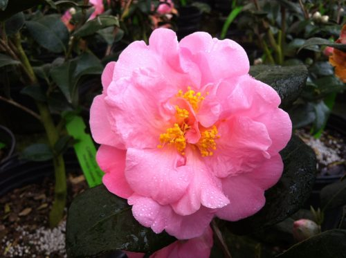 Camellia Pink Icicle bloom