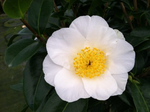 Camellia Silver Waves bloom