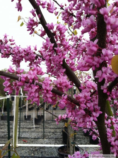 Cercis canadensis bloom