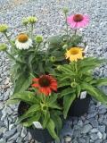 Echinacea Cheyenne Spirit 1g group
