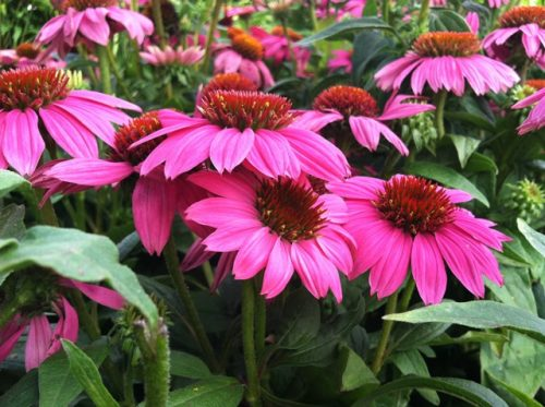 Echinacea Powwow Wildberry blooms