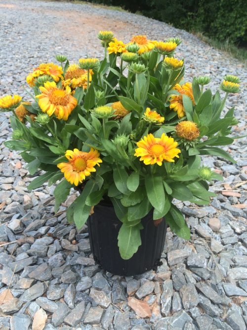 Gaillardia Arizona Apricot 1g May 2016