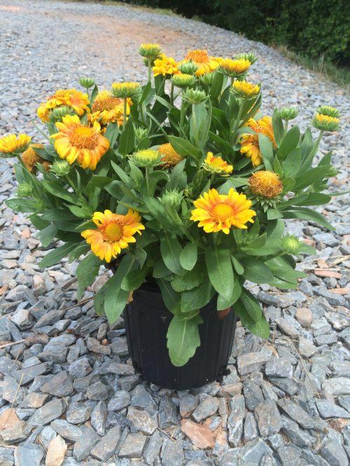 Gaillardia Arizona Apricot 1g May 2016