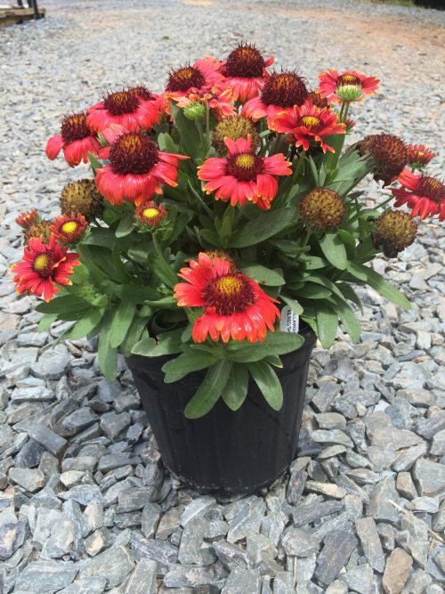 Gaillardia Red Shades 1g May 2016