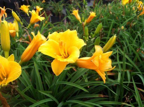 Hemerocallis Stella de Oro 1g