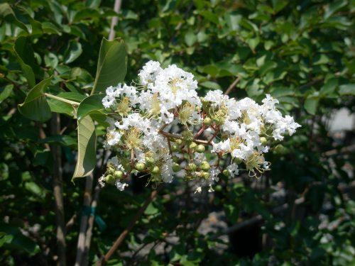 Natchez blooms
