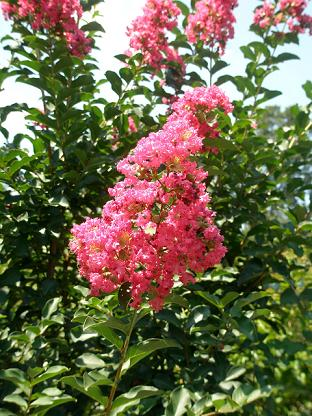 Tuscarora blooms