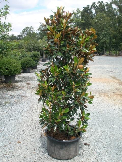 Magnolia Little Gem 15g
