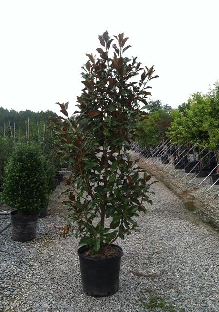 Magnolia Brackens Brown 15g