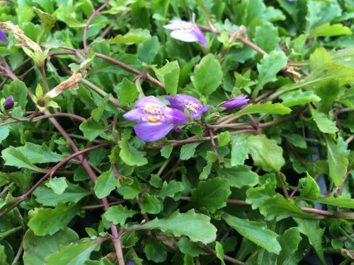 Mazus foliage and bloom