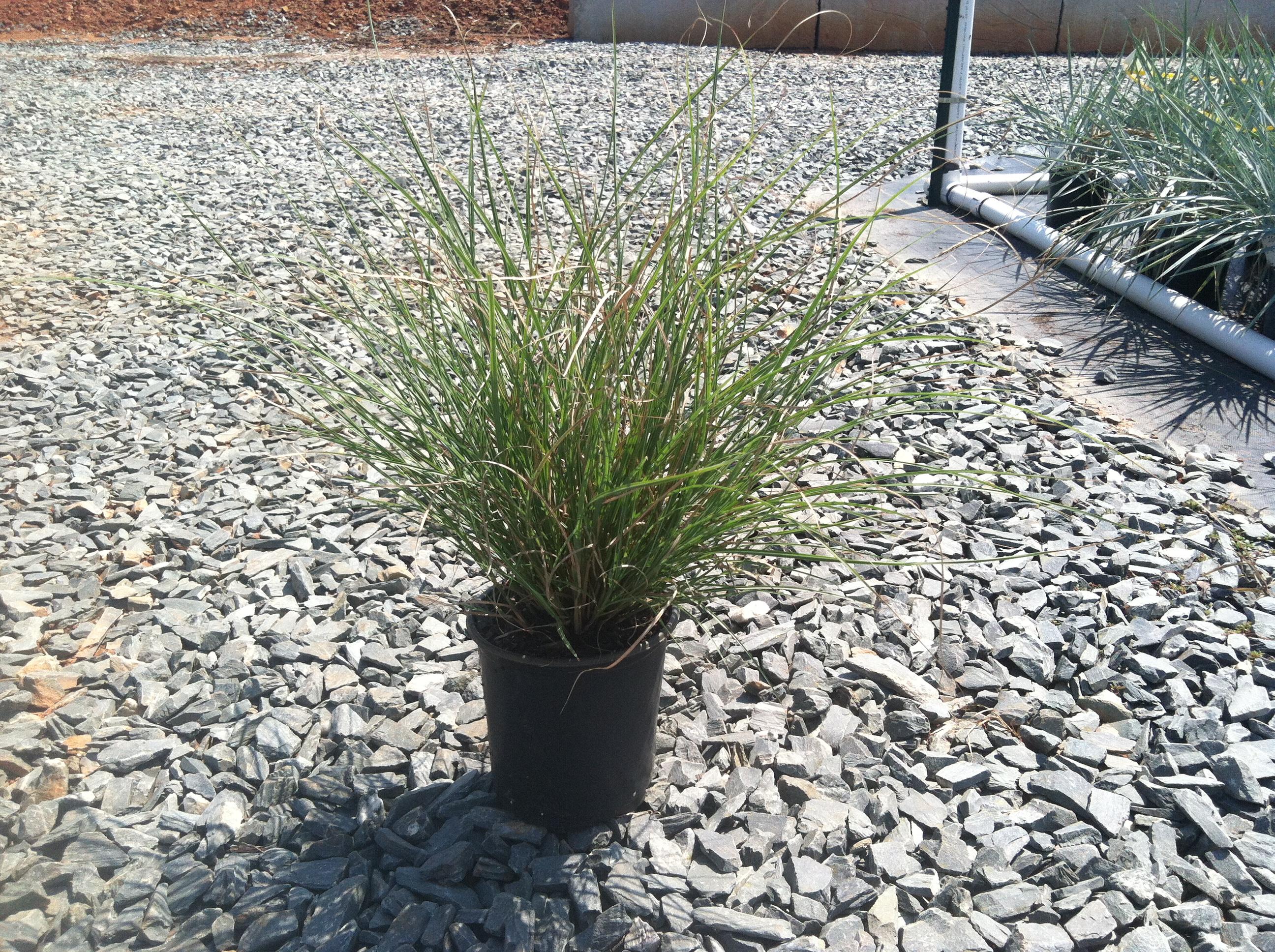 Maiden grass adagio miscanthus sinensis adagio for Maiden fountain grass