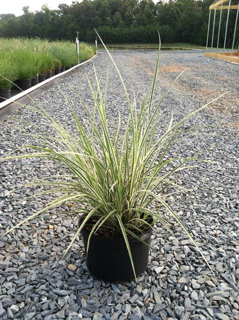 Latham 39 s nursery fountain grass cassian pennisetum for Maiden fountain grass