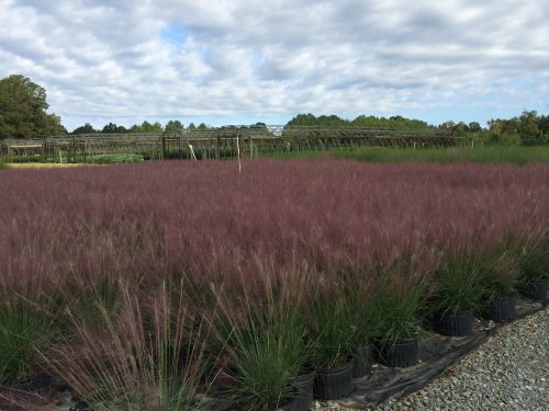Muhlenbergia block - fall color