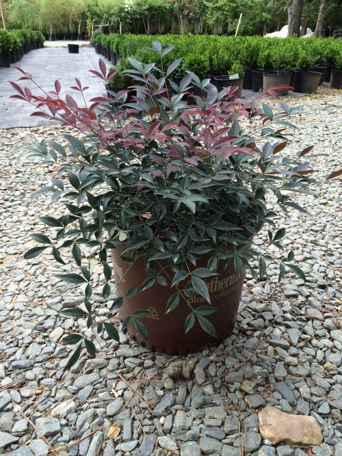 nandina domestica flirt Nandina, flirt, 3 gal: nandina domestica 'murasaki'/evergreen/partial shade to full sun/mature at 1-2' tall and wide/zone 6-9/new foliage comes out re.