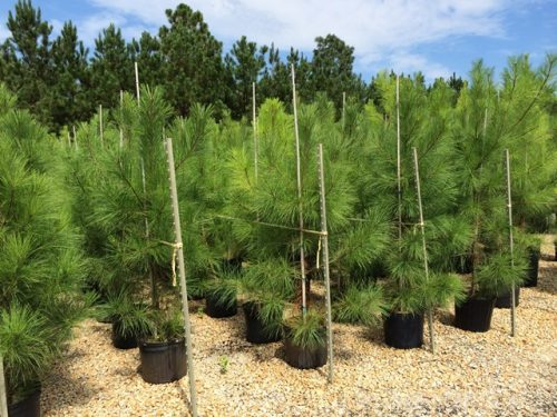 Pinus Loblolly 7g